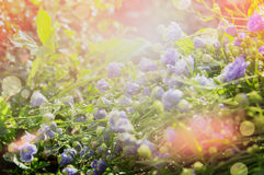 Summer floral nature background with blue bed flowers. Garden or park outdoor Royalty Free Stock Photo