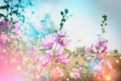 Summer floral nature background with mallow, outdoor Royalty Free Stock Images