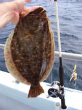 Summer Flounder Catch Stock Images