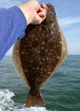 Summer Flounder in Hand Royalty Free Stock Image