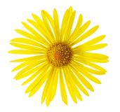 Summer Flower. Leopard's bane isolated on white Royalty Free Stock Photo