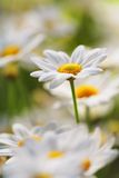 Summer Flower. An early summer flower. Very short depth-of-field Stock Photo
