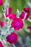 Summer Flower. Rose Campion - A fushia summer Perennial flower blooming - shallow depth of field Royalty Free Stock Photo