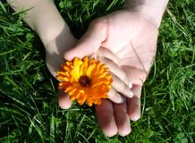 Summer flower. Hands Royalty Free Stock Photo