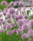 Summer flower bed. With pale pink flowers Royalty Free Stock Photo