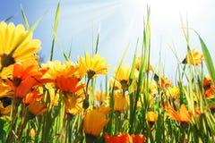 Summer flower field Royalty Free Stock Photo
