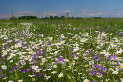 Summer flower field Royalty Free Stock Photos