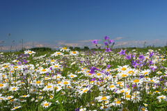 Summer flower field Stock Image
