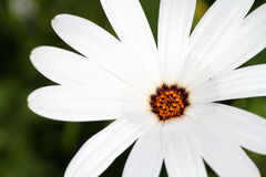 A summer flower Royalty Free Stock Photos