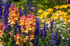 Summer flower garden. Snapdragons and Salvia in the foreground of a colorful flower garden Stock Images