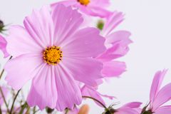 Summer flower pattern. Delicate  cosmos pink flowers on white. Background Stock Image