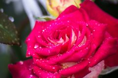 Summer flower in raindrops royalty free stock photo