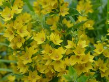 Summer flower. Small star shaped bright yellow flower,with rich green leaves Stock Photos