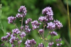 Summer flowering Origanum vulgare royalty free stock photo