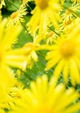 Summer flowers. (leopard's bane / Doronicum orientale). Creative focusing: the flowers in the background are sharp Royalty Free Stock Image