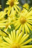 Summer flowers. (leopard's bane / Doronicum orientale Stock Photography