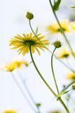 Summer Flowers. (Leopard's Bane Royalty Free Stock Photography
