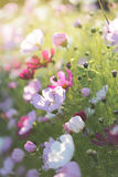 Summer flowers. In evening light Royalty Free Stock Image