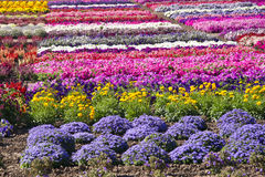 Summer Flowers. March of colorful flowers across a commercial garden in Central California stock photography