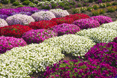Summer Flowers. March of colorful flowers across a commercial garden in Central California stock photos