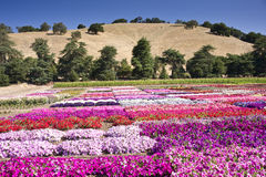Summer Flowers. March of colorful flowers across a commercial garden in Central California royalty free stock photos