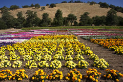 Summer Flowers. March of colorful flowers across a commercial garden in Central California royalty free stock images
