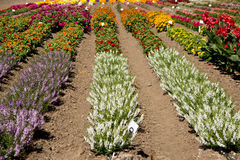 Summer Flowers. March of colorful flowers across a commercial garden in Central California stock photo
