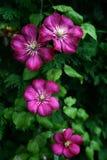 Summer flowers. Violet summer flowers after rain Stock Image