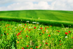 Summer flowers. Red summer flowers in a field royalty free stock photo