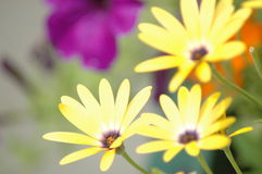 Summer Flowers. Three beautiful yellow flowers accented by great lighting Royalty Free Stock Images