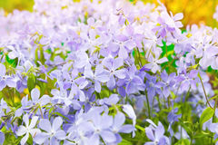 Summer flowers background. Phlox. Divaricata, wild blue, woodland phlox, or wild sweet william, flowering plant in the family Polemoniaceae, native to forests Stock Photo