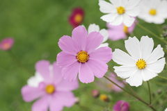 Summer flowers background Royalty Free Stock Photo