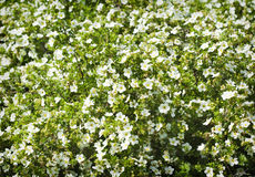 Summer flowers background. Summer white flowers background. Selective focus Royalty Free Stock Photos