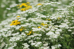 Summer flowers background Royalty Free Stock Photography