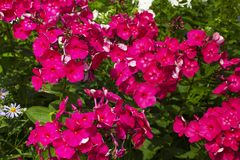 Summer flowers. Blooming of pink phlox in Russia. Summer flowers. Pink phlox blooming background stock photo