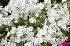 Summer flowers. Blooming of white phlox in Russia. Summer flowers. white phlox blooming background stock photos