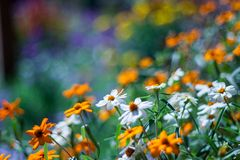 Summer flowers and bokeh. Flowers in a garden with bokeh background Stock Image