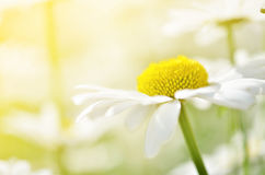 Summer flowers camomile blossoms on meadow. Macro photo. Royalty Free Stock Images