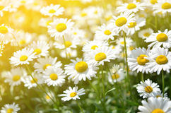 Summer flowers camomile blossoms on meadow. Royalty Free Stock Photos