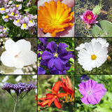 Summer flowers collection. Collection of flowers, blooming in the summer: Nemesia, Calendula, Nymphea (waterlily), Hydrangea Paniculata, Clematis Jackmanii Stock Photo