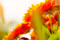 Summer flowers Royalty Free Stock Photo