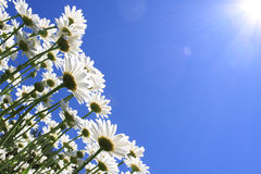 Summer Flowers (daisies) Royalty Free Stock Photo
