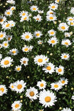 Summer Flowers (daisies) Royalty Free Stock Image