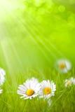 Summer flowers - daisy Stock Image