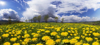 Summer flowers-dandelions and lightning Stock Photography