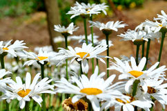 Summer Flowers. Early summer Flowers, Short depth-of-field Royalty Free Stock Photography