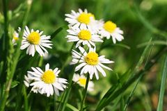 Summer flowers on the field. Close up of white Marguerite and green grass Royalty Free Stock Image