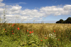 Summer flowers and field. Wild flowers edge a field in North Yorkshire stock photography