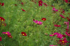 Summer flowers. Flowerbed with dark pink flowers Royalty Free Stock Images