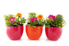 Summer flowers for the garden Stock Photos